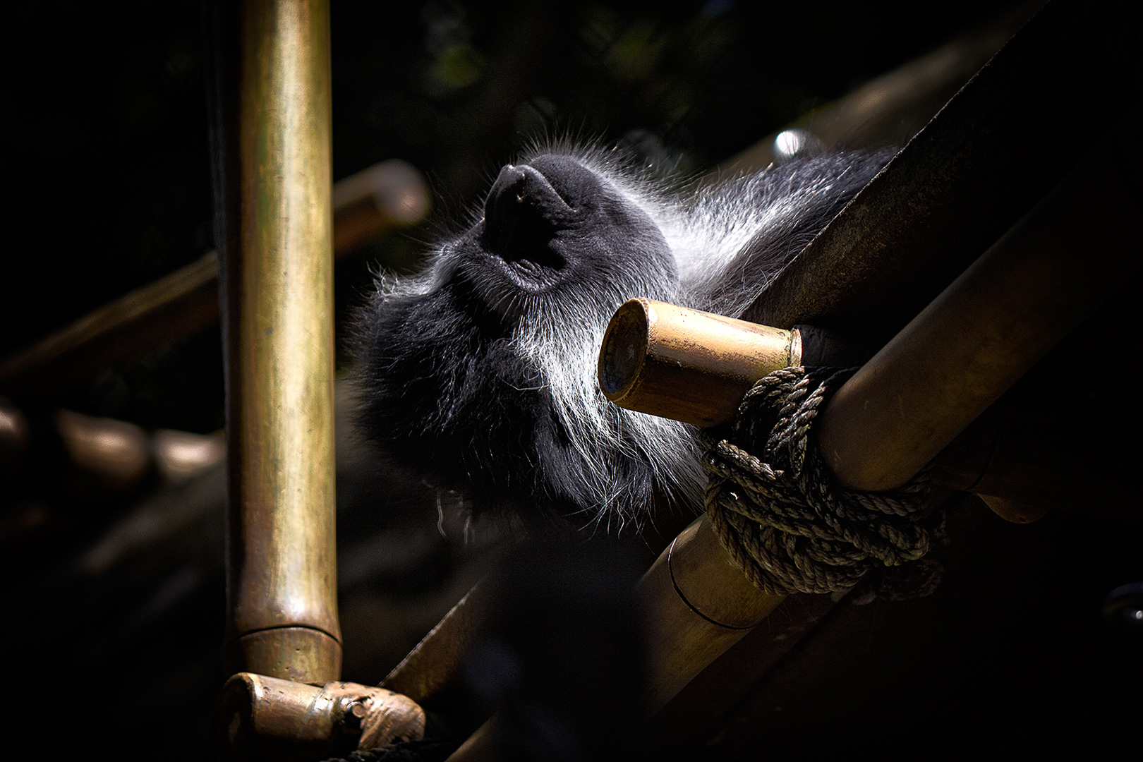 Sleping Monkey.  Disneys Animal Kingdom, Walt Disney World Resort, Orlando FloridaDisney Photography, Disney World Photography, Disneyland Photography, Disney Photos, Disney Pictures,  Disney Photography Blog, Disney Tourist Blog, Disney Event Photography